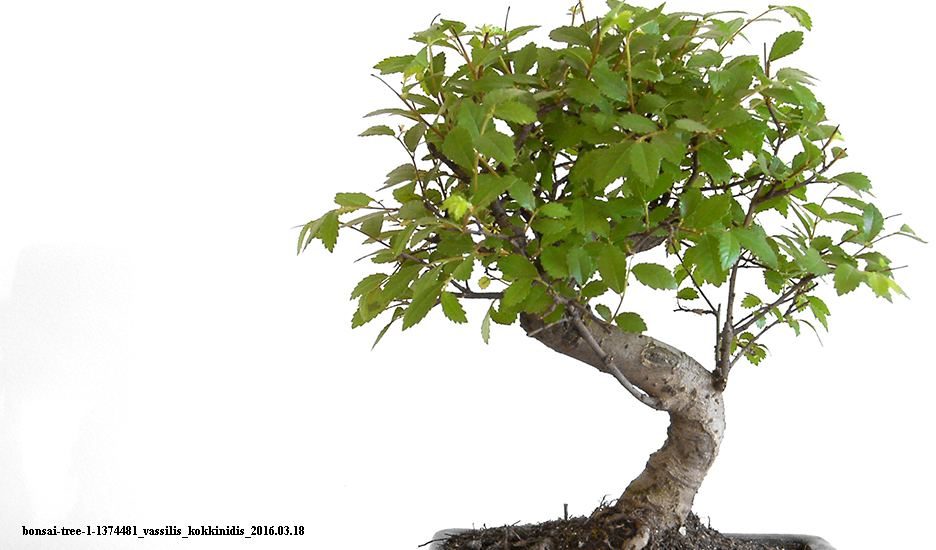 Qual o significado da arte do bonsai? O que a arte do bonsai tem a ver com a gente?